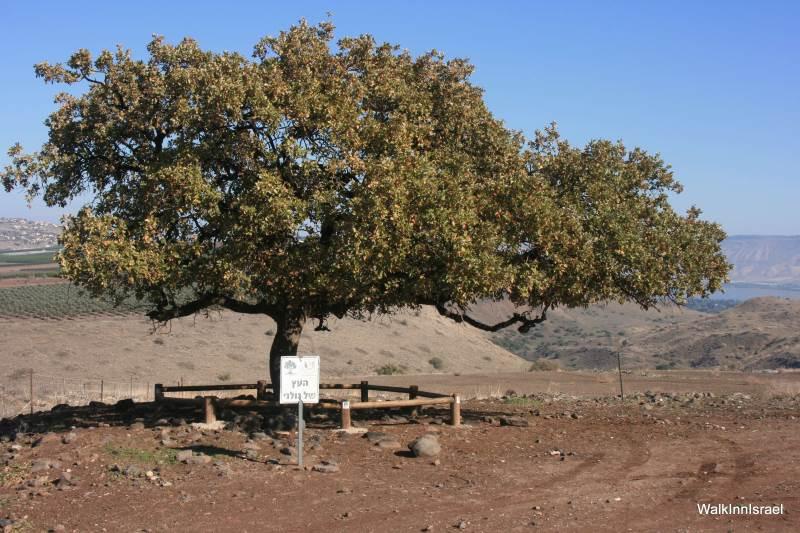 היסטוריה חוזרת. העץ של גולני.|צילום: באדיבות walkInnIsrael