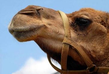 יוזמה נגד רכיבה על גמלים